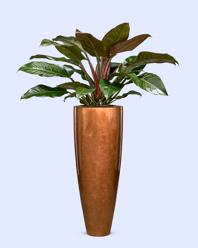 Bladzilveren pot copper met philodendron imperial red bush