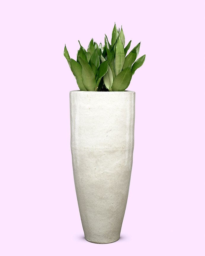 Old white ceramic met sansevieria moonshine