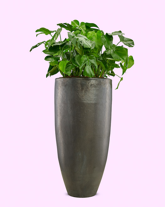 Pot charcoal keramiek met philodendron deliciosa monstera